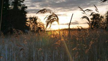 Vass i solnedgång på Kilholmen